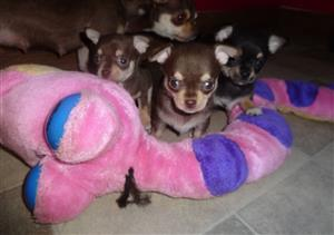 Smooth Coat Chihuahua Puppies