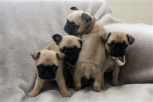 Registered Pug Pups For Sale Nine Weeks Old