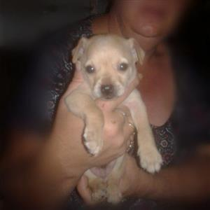 Chihuahua Puppy (Male) for sale