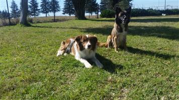 Puppies Border collie
