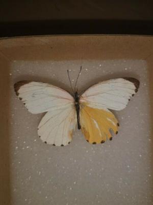 Mylothris agathina Gynandromorph