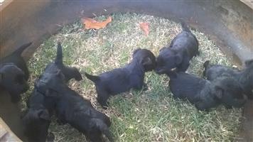 Opregte Swart Scottish terriers