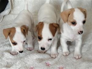 Jack Russel pups.