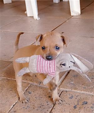 Toy size Miniature Doberman Pinscher puppies