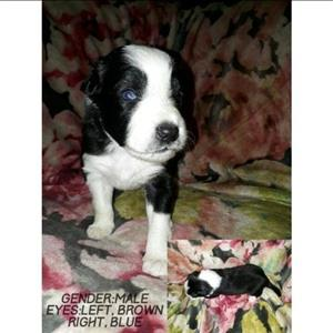 pure bred border collies for sale.
