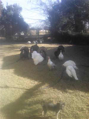 Turkeys for sale