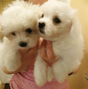 True Small Type Maltese Puppies
