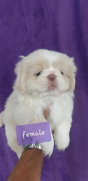 pekingese puppies for sale.Purebred miniature