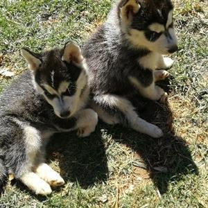 Melamute Husky puppies