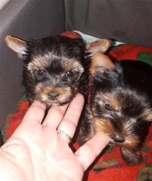 Gorgeous pocket size yorkie males available