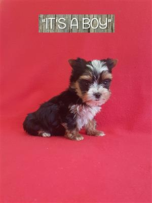Pocket size Male puppies