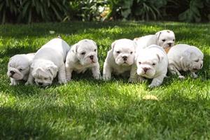 Bulldogs puppies