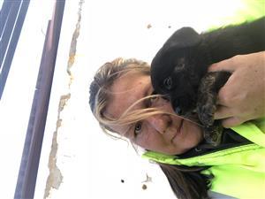 Pure breed Labrador pup