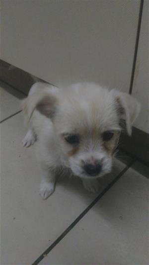 Maltese X Toypom pups