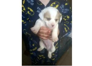 MALTESE X JACK RUSSELS LOOKING FOR A GOOD HOME