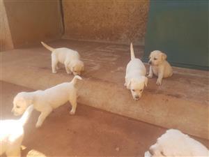 6 Labrador puppies 8 weeks old