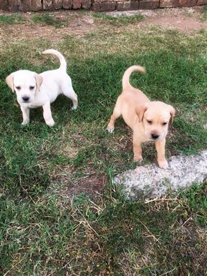 Beautiful White/Golden Labradors for sale