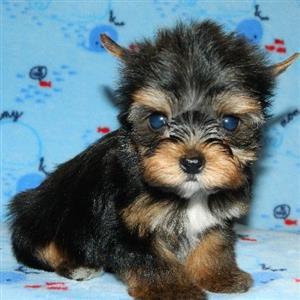 Pocket size Yorkshire Terrier male