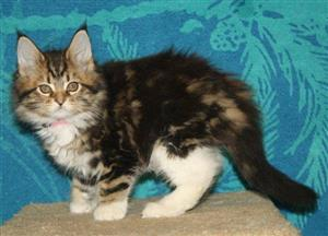 Maine coon kittens for ready now