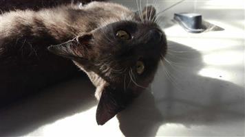 Gorgeous Kitten Dark Grey and White - Already Speyed/Sterilized