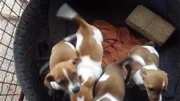 Jack Russell pedigrees puppies for sale