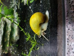 Golden apple snails/mystery snails