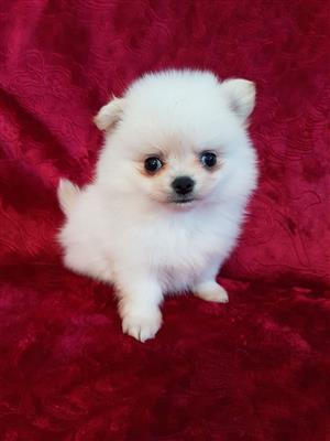 Adorable Purebred Pomeranian puppies.