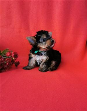 Small size Registered Male Yorkie puppy