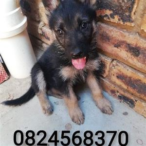 Purebred female German shepherd