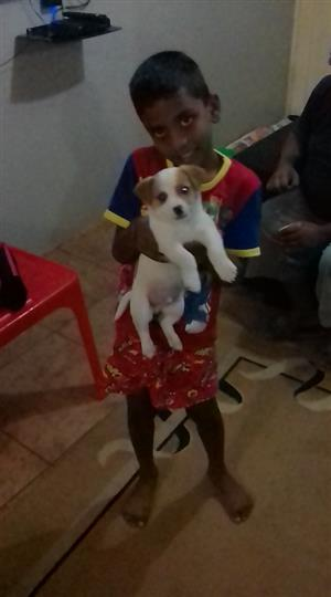 Jack Russel For Sale With Accessories