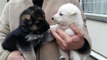 German Shepherd puppy 's