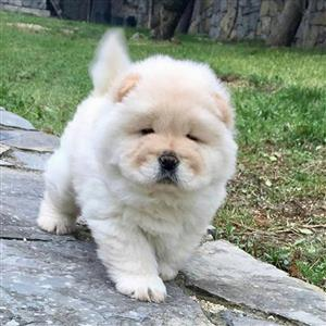Stunning Chow Chow Puppies