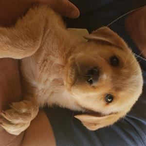 Golden Labrador Retriever pups