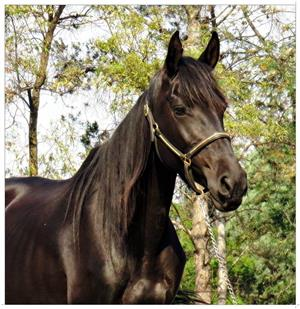 Gorgeous fresian x mare