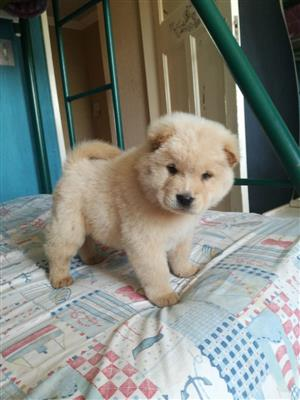 Thoroughbred Chow chow puppies 6 weeks old. vaccinated & Dewormed.
