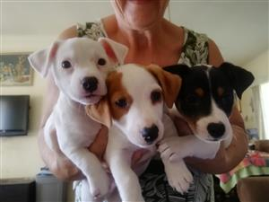 Pure breed Jack Russel Puppies for sale