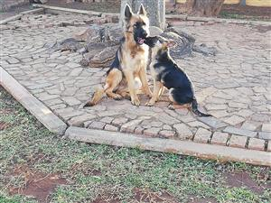Pure Bred German Sherpered puppies