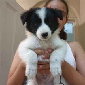 Male Border Collie puppies for sale