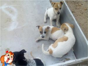 Puppies chihuahua cross jack Russell 4 males