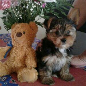 1 x beautiful Male Yorrkie - 9weeks old. Vet Card with All Vaccinations and De-worming up to date