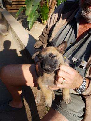 SWISS SHEPARD X MALINOIS PUPPIES