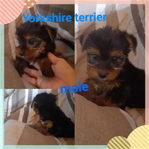Yorkie pocket and teacup