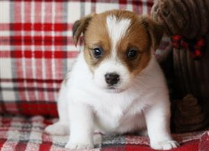 Males and Females Jack Russell Puppies to be Re-homed.