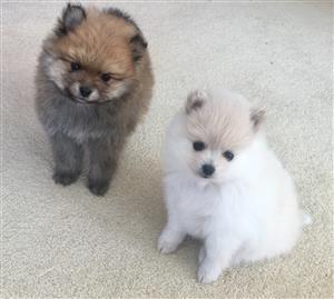 Pomeranian ( toypoms)