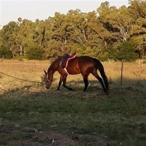 Boerperd cross mare