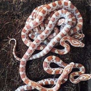 corn snake babies