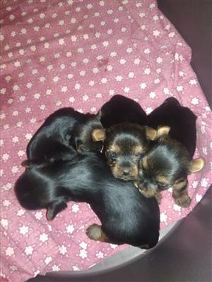 Yourkie puppies for sale