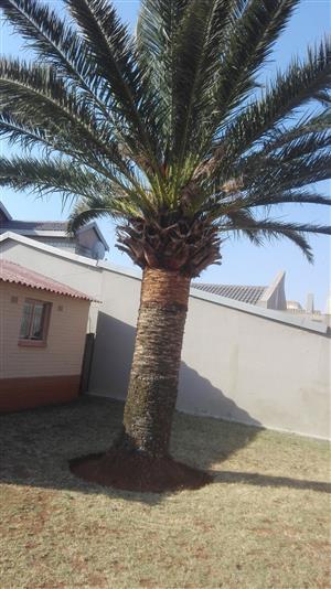 Date Palm Tree - Bargain 2 Go
