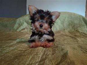 Yorkshire terrier puppies yorkies small and pocket size