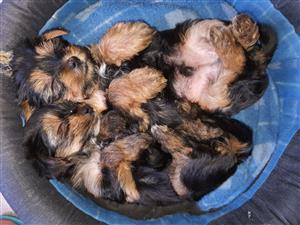 Miniature Yorkshire Terrior Puppies